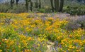 Image for Catalina State Parks Flower Fields, Oro Valley, AZ