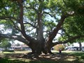 Image for Camphor Tree - Clearwater, FL