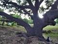 Image for Byars Oak Tree - Blanco, TX
