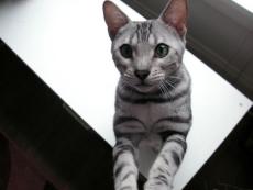 iPet Cat