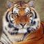 tiger27
