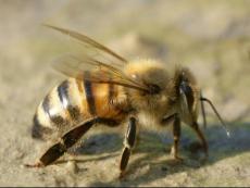Anatomie van de honingbij
