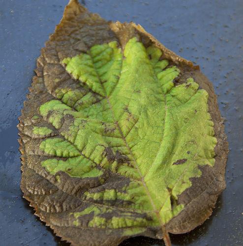 Hydrangea fungal leaf spots pictures
