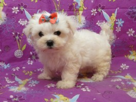 Home | Coton De Tulear - Coton De Tulear Puppies for Sale