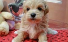 Home | Coton De Tulear - Coton De Tulear Puppies for Sale