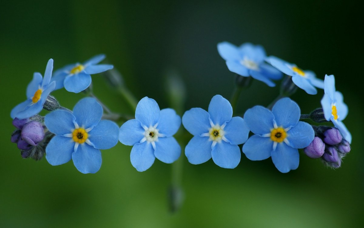 forget-me-not-flowers-3.jpg.1cae51d6089a318191696371131793db.jpg