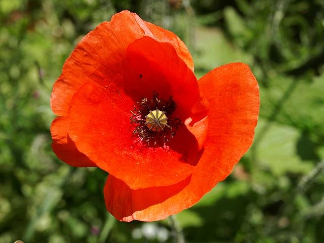 papaver_rhoeas_common_field_poppy_00_flower_15-06-08_1.jpg.db43311335a32d96d5f4f281cb084dc0.jpg