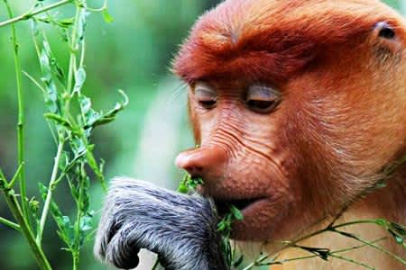 【Mangrove Forest Tour】Proboscis Monkey And Fireflies One Day Tour