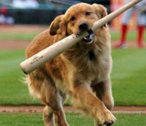 Dog Running with Baseball Bat for Bark at the Park