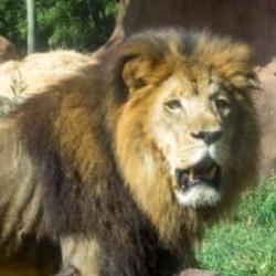 Lion Birmingham Zoo