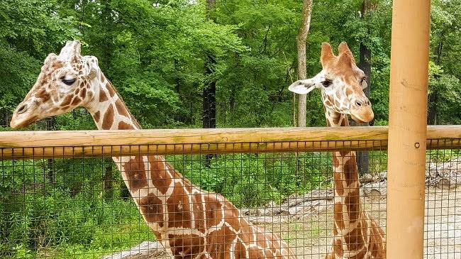 Birmingham Zoo Giraffes