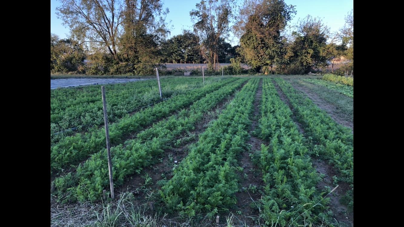 Farm Happenings Week 2, Fall CSA, Roots and Greens