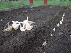 Garlic planting time!!!