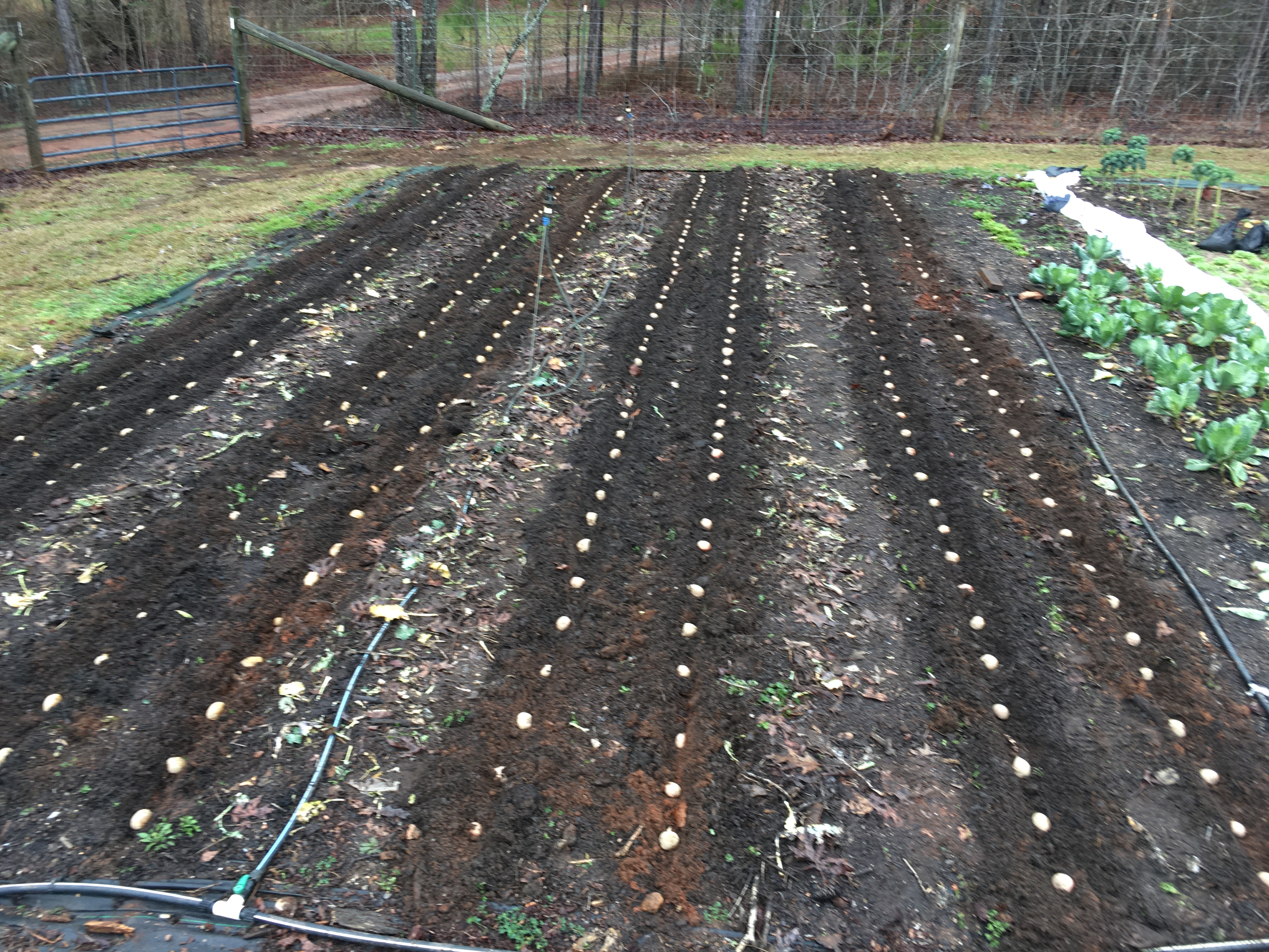 Planting Potatoes while it is Snowing!