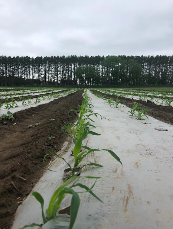 Week 2 of 20; Summer 2020 Coopers CSA Farm Happenings