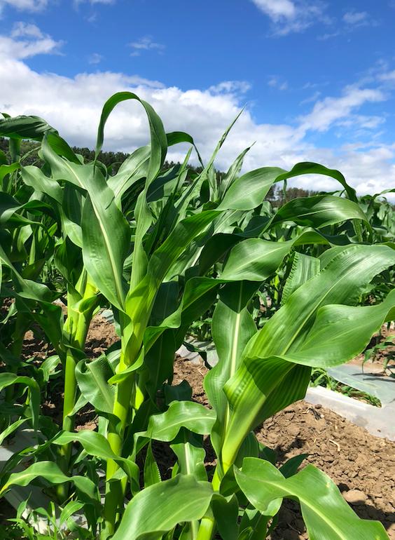 Week 6 of 20; Summer 2020 Vegetable Share-Coopers CSA Farm Happenings