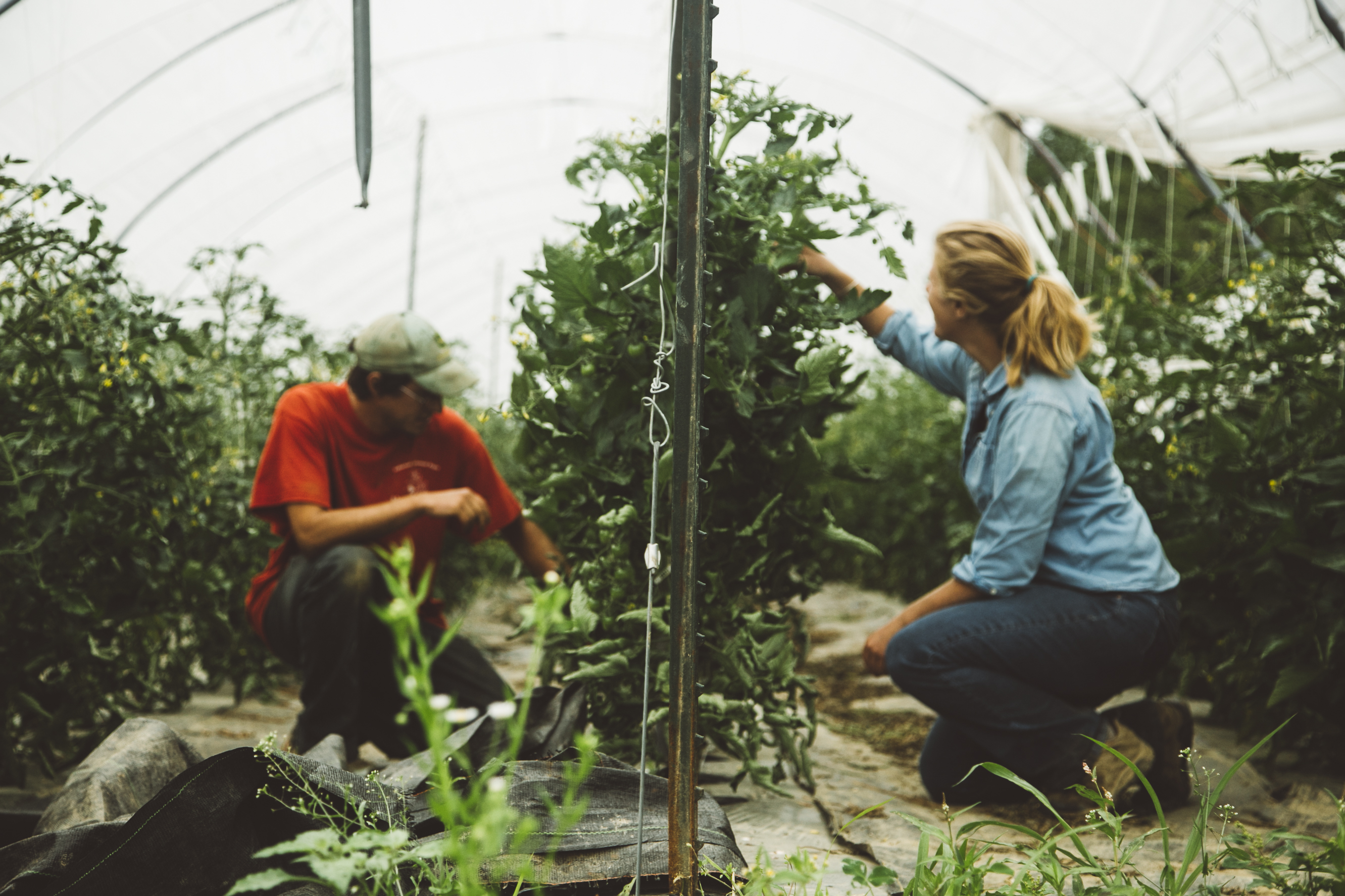 Week 6 - Tomato Countdown + Join us in supporting Liberation Farms' effort to acquire farmland