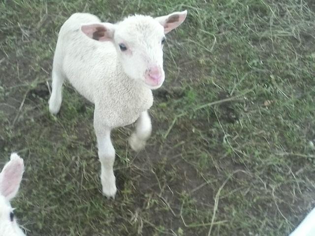 Happy Lambs at Sunny Cone farm!