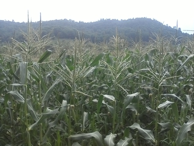 Sweet Corn on the Horizon!