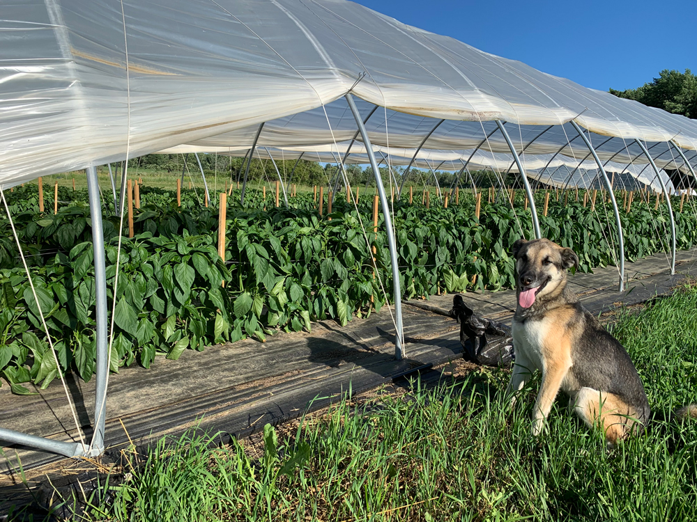 Farm Happenings for 7/28/2020: Amazing Summer Crops are Ready & Update from Ironwood Farm