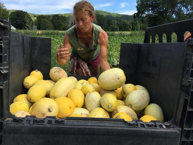 Squash Harvest Time