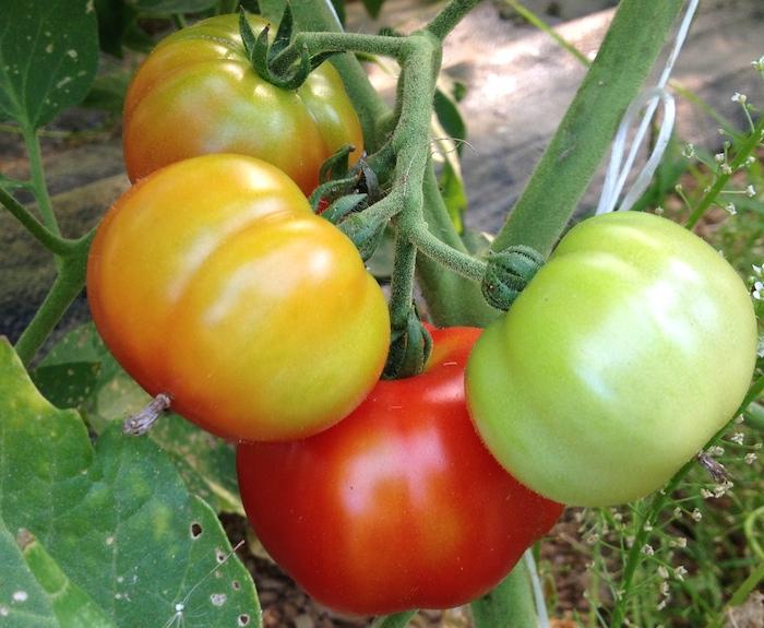 Week 9:  Summer Squash Fading, Tomatoes Shining Bright
