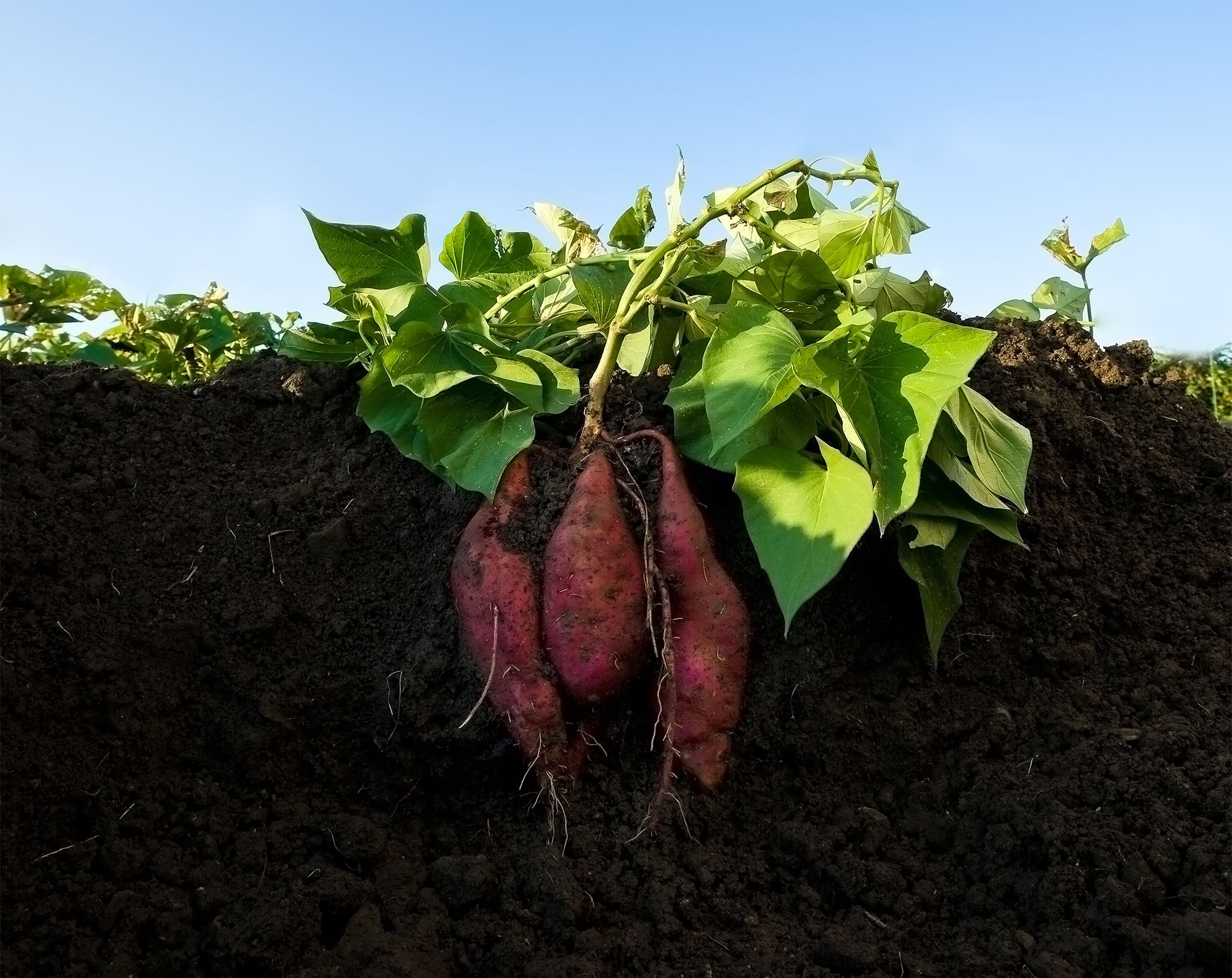Sweet Potatoes are popping out of the soil!