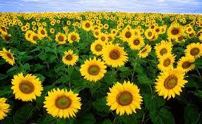 Sunflower - 2018