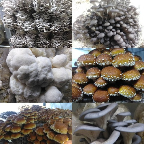 Weekly Mushroom Share