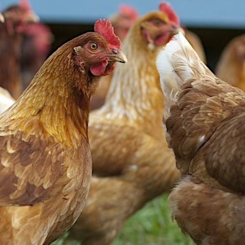 Organic Chicken Share