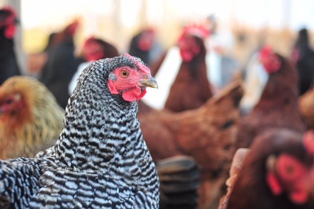 Summer Extension Chicken Share