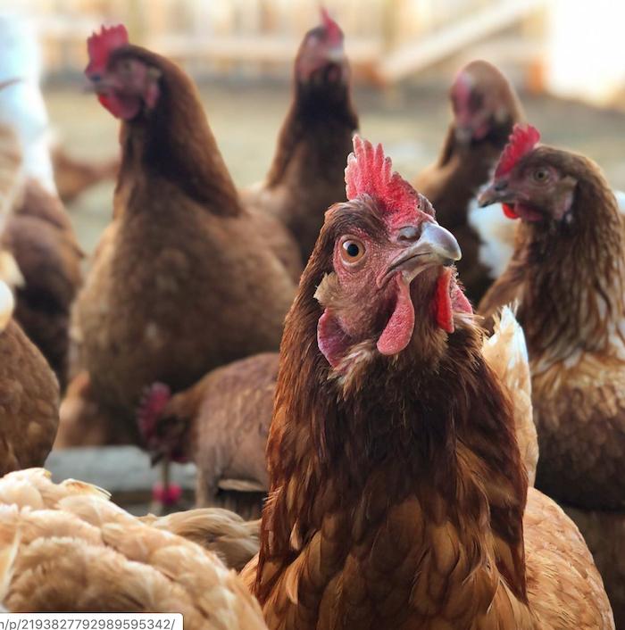 Medium Chicken
