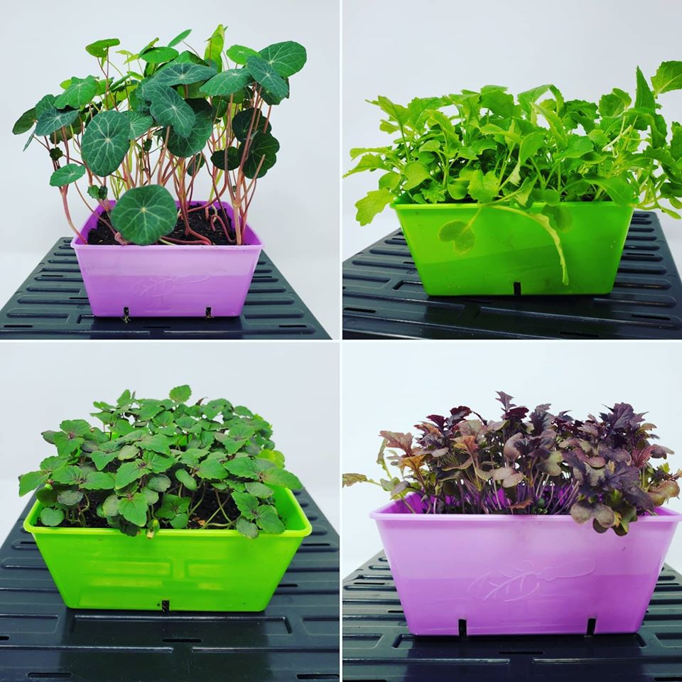 Box of Four Live You Cut & Harvest Microgreens