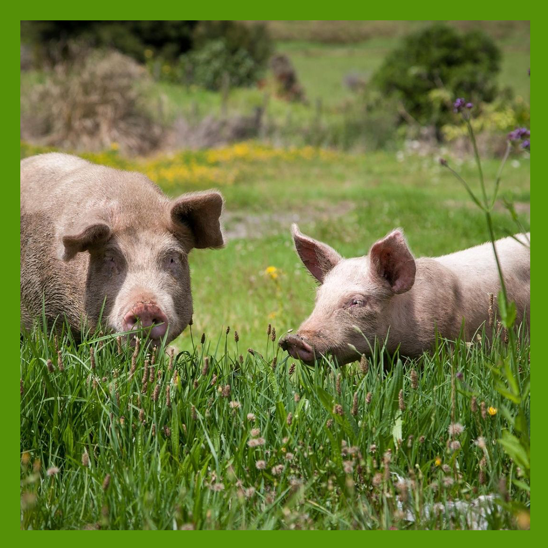 Spring Pastured Pork Share