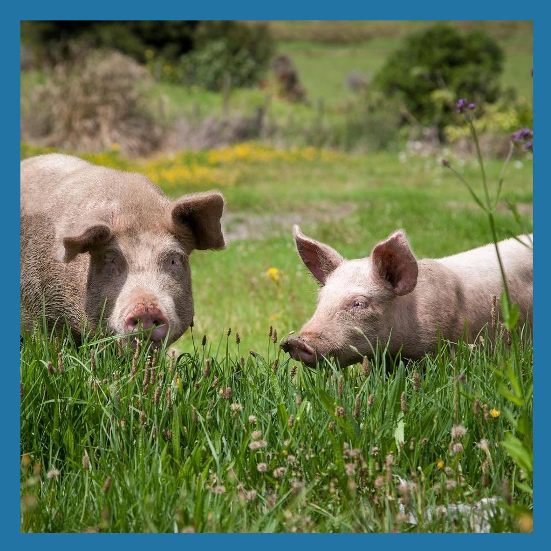 Pastured Pork Share