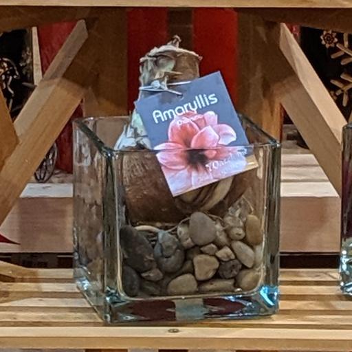 November Amaryllis Glass Vase (1 bulb)