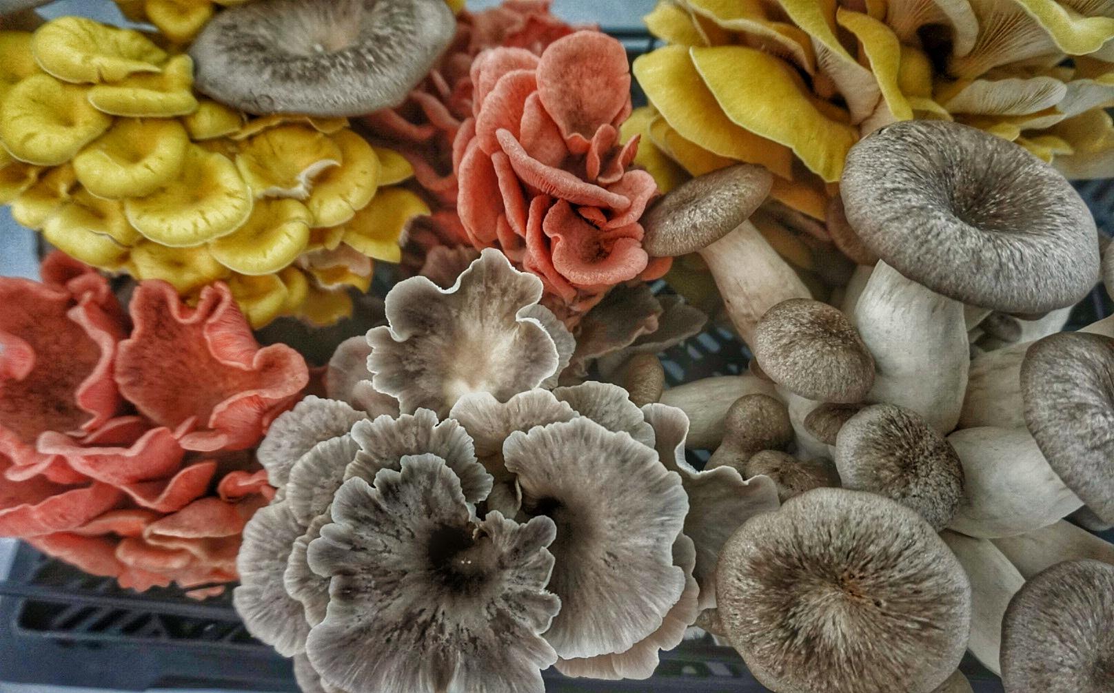 8 oz Mushroom Share