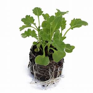 Bright Green Curly Kale Shoots