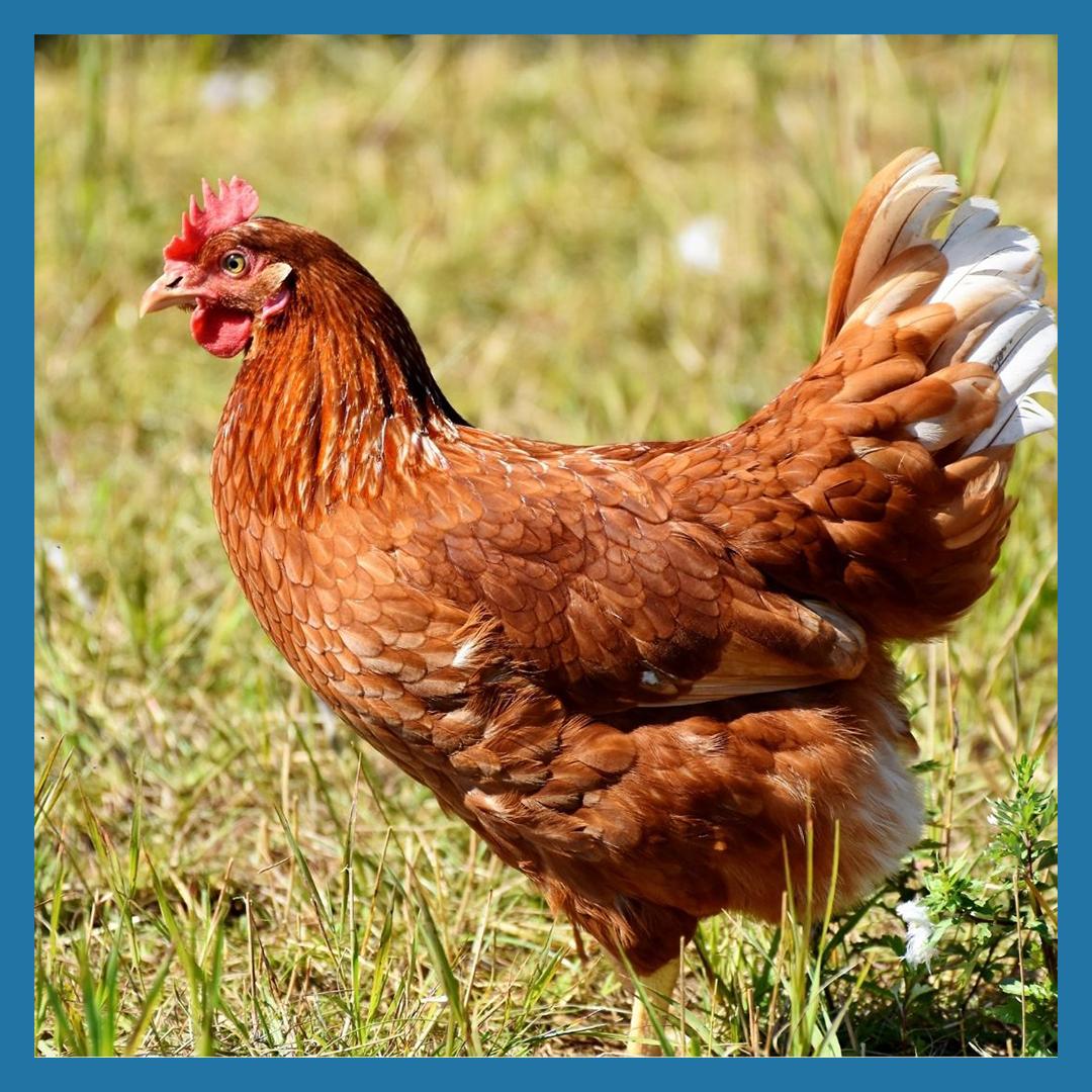 Fall Chicken Breast Share