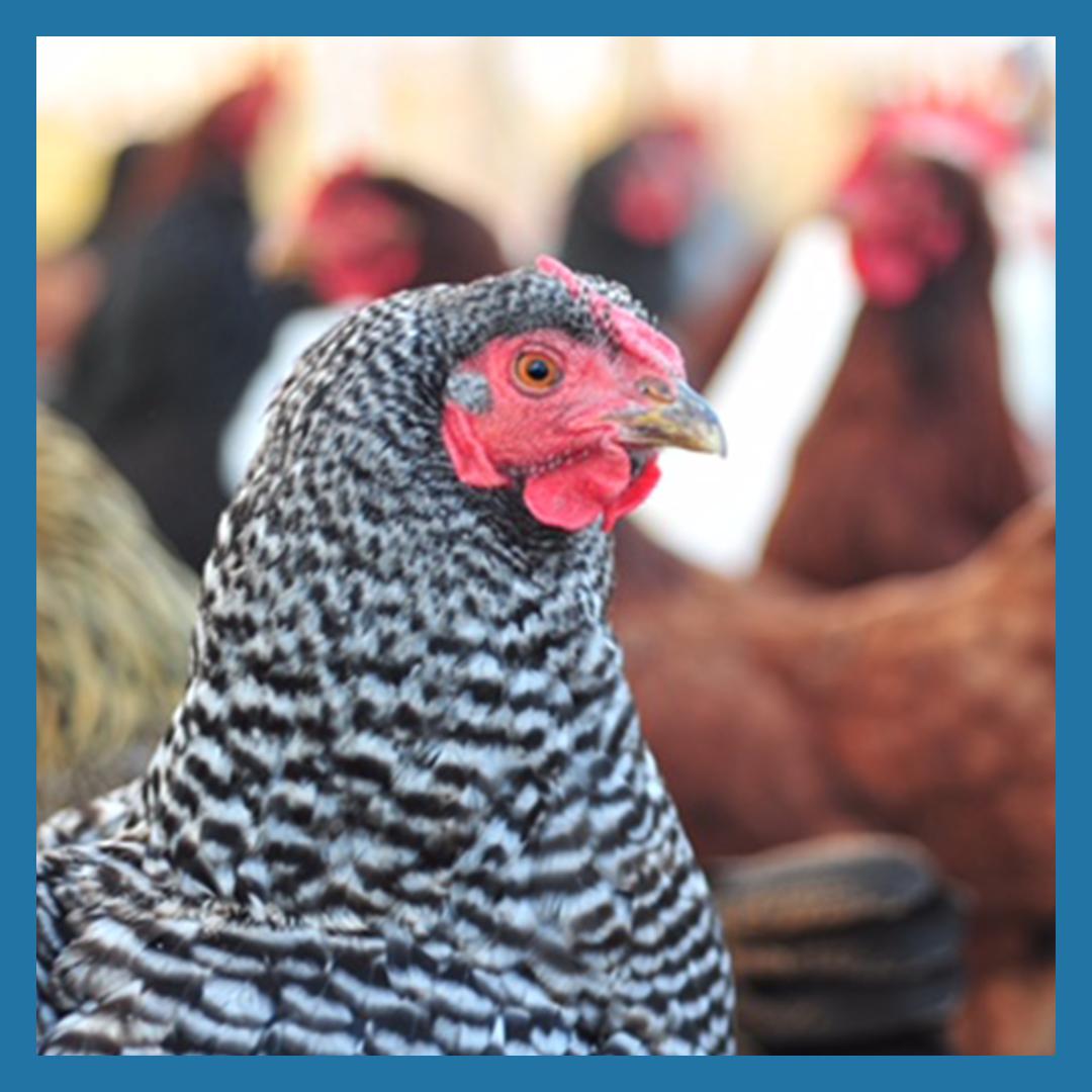 Fall Pastured Chicken Share