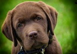 Dogs Sniff Out Diabetes Crises