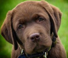Dogs Sniff Out Diabetes Crises