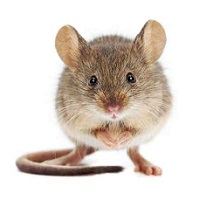 Using Older Mice, Researchers Find Potential Stroke Prevention Agent