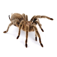 Tarantula Venom Could Provide Pain Relief in IBS