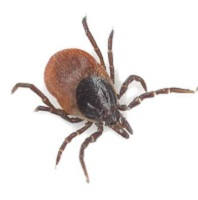 Neuropsychiatric Complications Associated with Lyme Disease