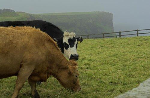 Cows, cows in ireland, Irish town, rural ireland, Don't be silly, vote for willie, irish local election, rural ireland politician, local people, local politics, willie dunne, willie callaghan, willie crowley, ireland, farm - HeadStuff.org
