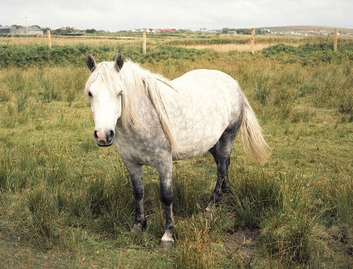 pony, horse, white horse, white pony, posing for photograph, west of ireland, country, rural ireland, irish pony, pony looking at camera, Things Were Better Then, Ruth Connolly, Photography, photographer, artist - HeadStuff.org