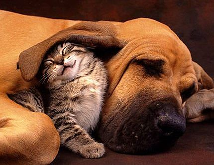 cat, dog, adorable, cute, cat under dog's ear, cat's ear blanket, dog ear blanket, cat and dog sleep together, cat and dog cute together, dogs and cats, ears, hearing, how do cats and dogs hear so well, hear better than humans, science - HeadStuff.org