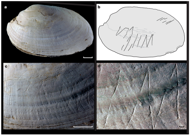 Figure from the nature paper by Joordens et al 2014 showing the earliest known carvings in a shell found in indonesia - HeadStuff.org