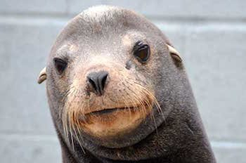 Duzzy the Sea Lion at the Marine Mammal Center in California